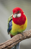 Eastern Rosella Stock Photos