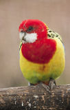 Eastern Rosella. An eastern rosella bird in an aviary Royalty Free Stock Photography