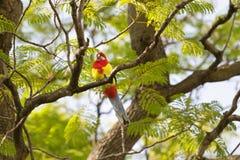 Eastern Rosella bird perching on tree branch in South Australia Stock Photo