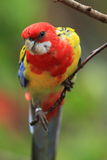 Eastern rosella. On the branch Royalty Free Stock Photography