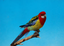 The Eastern Rosella Stock Photo