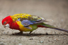 Eastern rosella Platycercus eximius. Royalty Free Stock Images