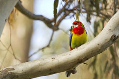 Eastern Rosella (Platycercus Eximius) Royalty Free Stock Photo