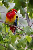 Eastern Rosella. (Platycercus eximius) sitting on branch Stock Photography