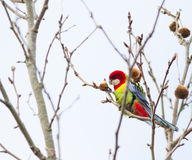 Eastern rosella Platycerius aximius. Colorful eastern rosella parakeet feeding on the fruit of a tree Stock Images