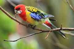 Eastern rosella. Sitting on the branch Stock Photo