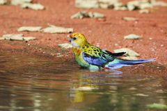 Eastern Rosella. Young Eastern Rosella (Platycercus eximius) staying in water Royalty Free Stock Images