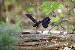 Eastern Rufous Sided Towhee bird Stock Photo