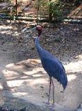 Eastern sarus crane Royalty Free Stock Photos