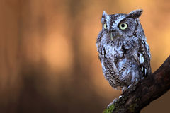 Eastern Screech Owl. Closeup of an Eastern Screech Owl against a blurred background Stock Photo