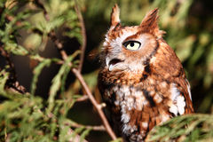 Eastern Screech Owl. During it's Red Phase screeching while perched in a tree. These small owls are found throughout the eastern United States and Canada Stock Image