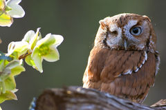 Eastern Screech Owl Stock Photo