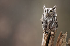 Eastern Screech Owl. Closeup of a Screech Owl against a blurred background Royalty Free Stock Photo
