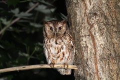 Eastern Screech Owl Stock Photos
