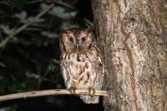 Eastern Screech Owl Stock Photos