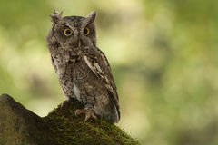 Eastern Screech Owl. Injured screech owl - taken at a conservation park that was caring for it stock photography