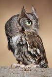 Eastern Screech Owl. An Eastern Screech Owl perched atop a branch Stock Photo
