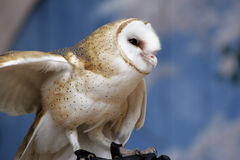 Eastern Screech Owl. Close-up of an Eastern Screech Owl Stock Photos