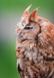 Eastern Screech Owl. (Megascops asio Royalty Free Stock Images