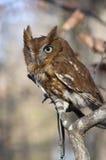 Eastern Screech Owl. Portrait of an Eastern Screech Owl, Megascops asio Royalty Free Stock Photography