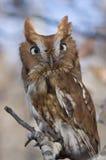 Eastern Screech Owl. Portrait of an Eastern Screech Owl, Megascops asio Stock Photos