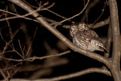 Eastern Screech Owl. An Eastern Screech Owl hunting at night Royalty Free Stock Photography