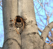 Eastern Screech Owl. This is an Eastern Screech Owl, photographed in its cosy little home in a tree. This picture was taken in a wood in Quebec, Canada Royalty Free Stock Photos