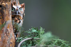 Eastern Screech-Owl Royalty Free Stock Image