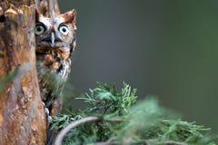 Eastern Screech-Owl. An eastern screech-owl sits in a tree Royalty Free Stock Image