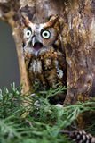Eastern Screech-Owl. An eastern screech-owl sits in a tree Royalty Free Stock Photo