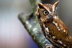 Eastern Screech-Owl. An eastern screech-owl sits in a tree Stock Photos