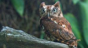 Eastern Screech Owl Angry. A captive eastern screech owl (Megascops asio) making an angry expression Stock Photography