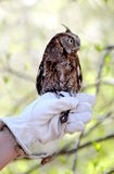 Eastern screech owl. Screech owl being held by a trainer in captivity stock images