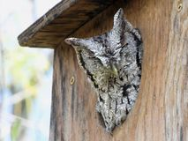 Eastern Screech-owl in Birdhouse Royalty Free Stock Image
