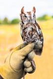 Eastern Screech Owl in captivity Stock Photography