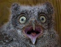 Eastern Screech Owl chick, Megascops asio Stock Photo