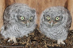 Eastern Screech-Owl Chicks. Baby Eastern Screech-Owls (Megascops asio) in a nest box Royalty Free Stock Images