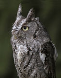 Eastern Screech Owl Close-Up. A close-up of an Eastern Screech Owl (Megascops asio Royalty Free Stock Image