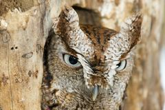 Eastern Screech Owl Closeup Stock Photo
