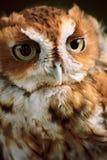 Eastern Screech Owl Royalty Free Stock Image