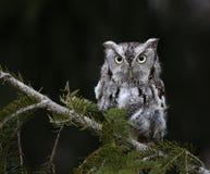 Eastern Screech Owl and Copyspace. A Gray Morph of an Eastern Screech Owl Megascops asio sitting on spruce tree branch Stock Photo