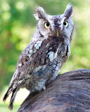 Eastern Screech Owl. A front view of a Eastern Screech Owl perched on a stump Stock Images
