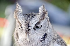 Eastern Screech Owl Royalty Free Stock Image