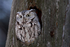 Eastern screech owl in Canada stock photo