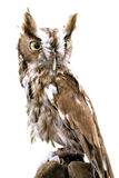 Eastern Screech Owl Isolated Stock Image