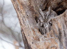 Eastern Screech Owl in its nest Stock Image