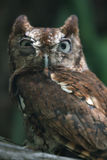 Eastern Screech Owl Mad. A captive eastern screech owl (Megascops asio) making an irked expression Stock Photo