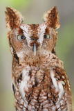 Eastern Screech-Owl (Megascops asio). Close-up of an Eastern Screech-Owl (Megascops asio) with a green background Royalty Free Stock Photos