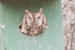 Eastern Screech Owl Royalty Free Stock Photos