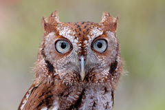 Eastern Screech-Owl (Megascops asio). Close-up of an Eastern Screech-Owl (Megascops asio) with a green background Stock Image